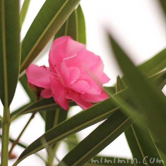 夾竹桃の花の画像