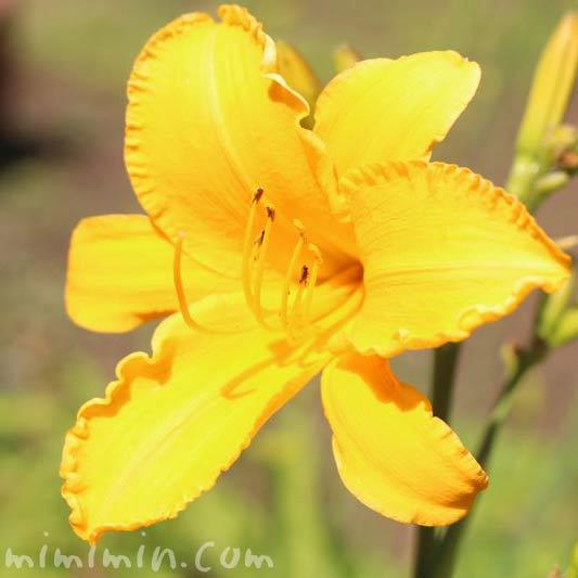 黄色のヘメロカリスの写真