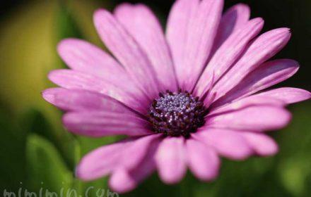 オステオスペルマムの花の写真 花言葉の画像