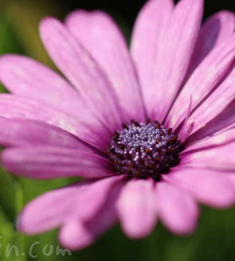 赤紫色のオステオスペルマム(花の写真&花言葉)