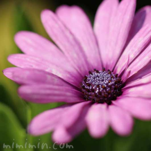オステオスペルマムの写真 花言葉の画像