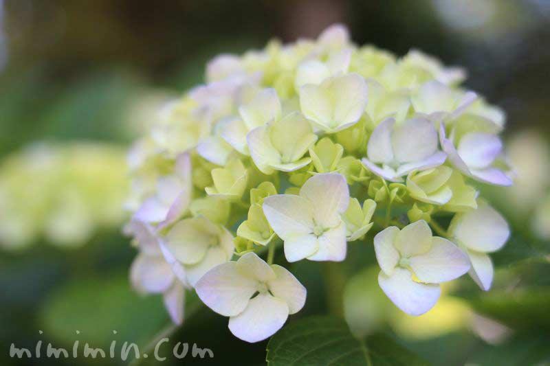 あじさいの花の画像