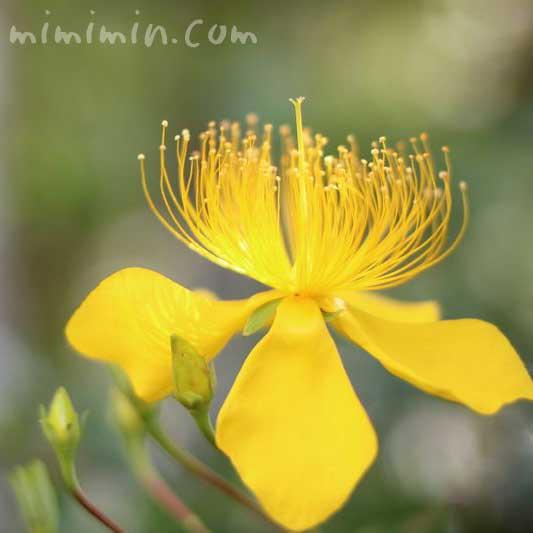 美容柳の花の画像