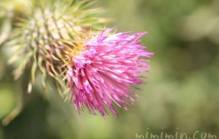 アザミの花の写真
