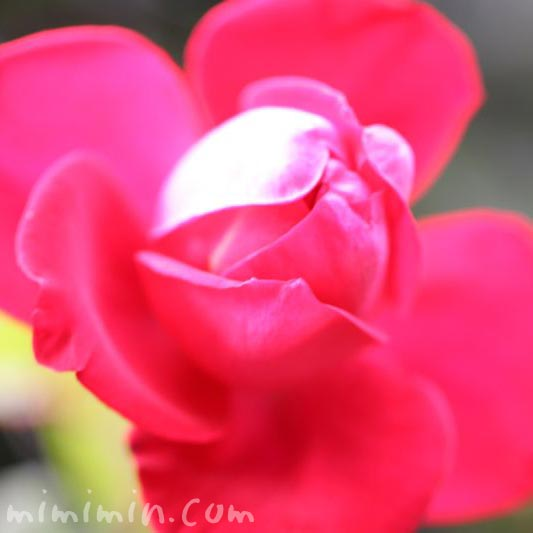 バラ 赤色の写真