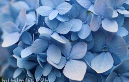 紫陽花・青の写真