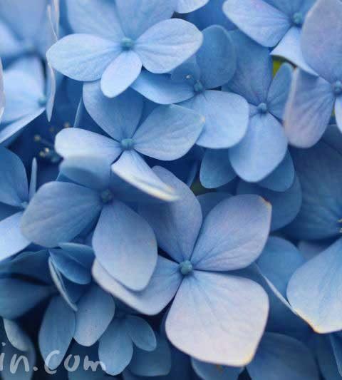 あじさい(紫陽花)の花言葉・毒性・薬効