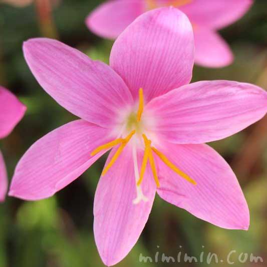 サフランモドキの花の写真