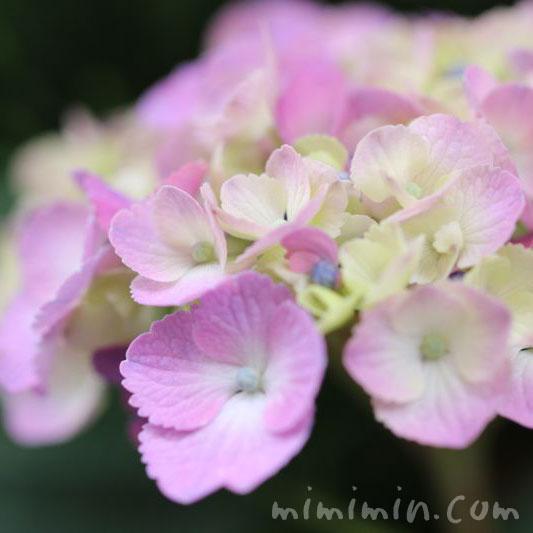 紫陽花・花言葉の写真