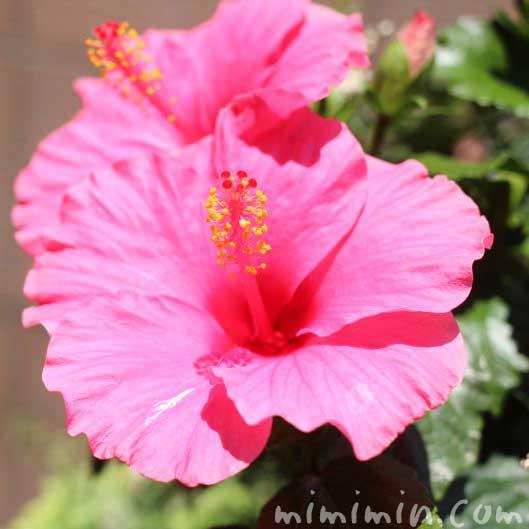 ハイビスカスの花の写真