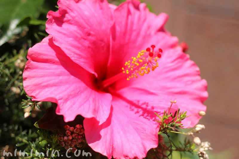 ハイビスカス(ピンク)の花の画像