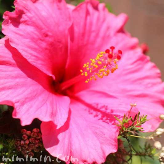 ピンク色のハイビスカスの写真