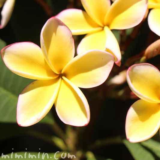 プルメリアの花(黄色)の画像