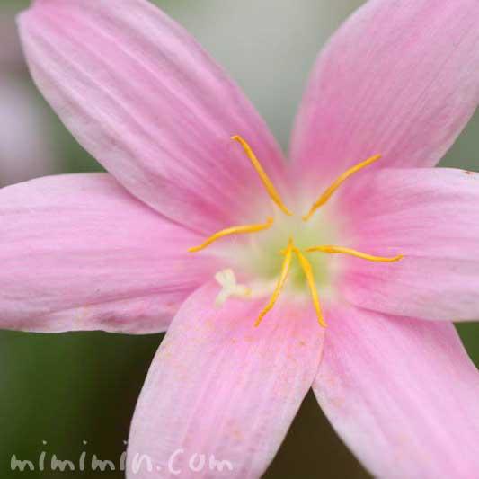 ゼフィランサス(ピンク)の写真