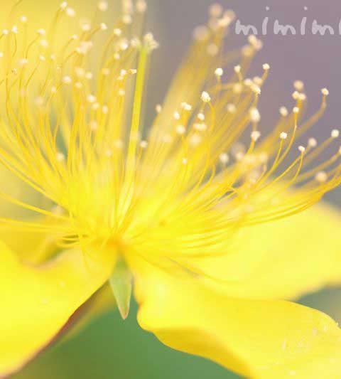 ビヨウヤナギ(美容柳)の花言葉・誕生花