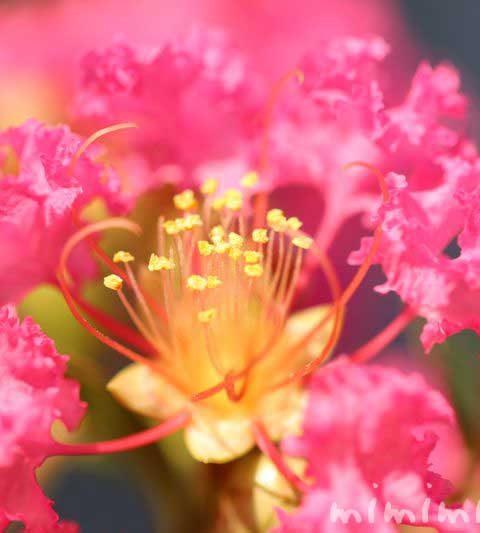 サルスベリの花言葉・名前の由来|百日紅の花の写真