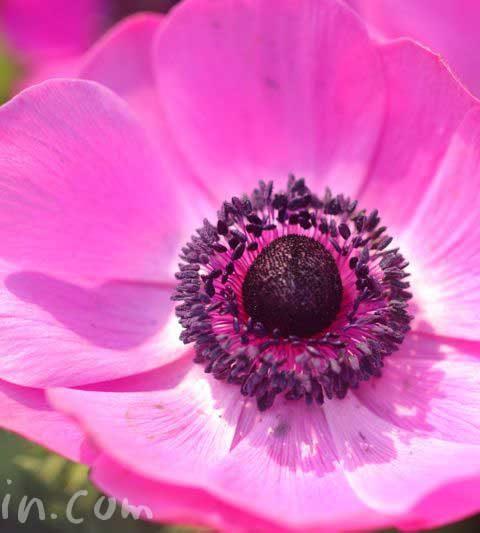 アネモネの花言葉・誕生花・ピンクのアネモネの写真