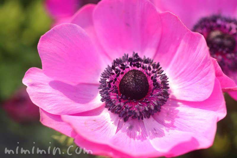 アネモネの花・ピンク紫の画像