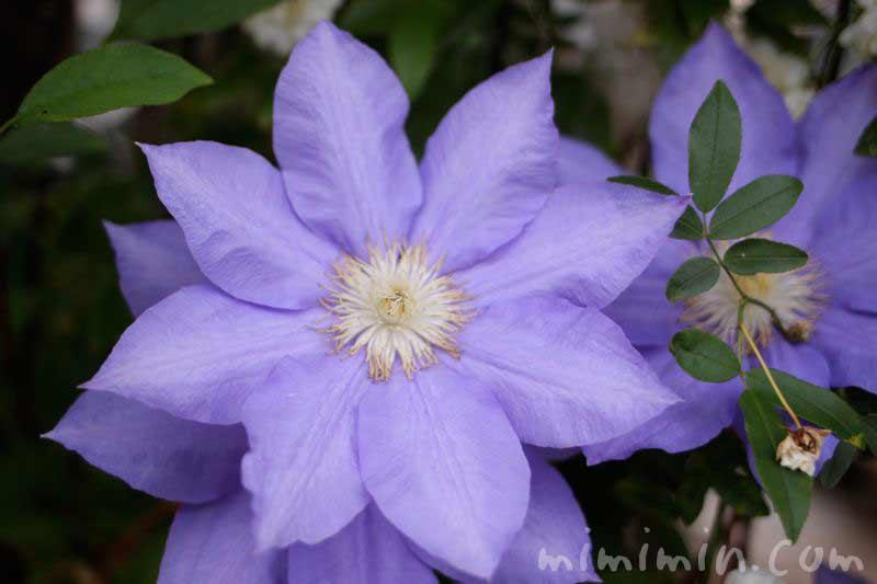 青紫色のクレマチスの写真