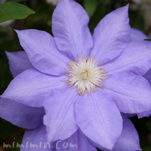 クレマチス 青紫の画像