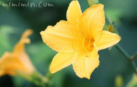ヘメロカリスの花の写真