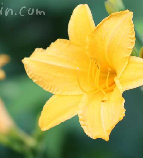 ヘメロカリスの花言葉・名前の由来・誕生