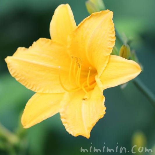 黄色のヘメロカリスの花の写真