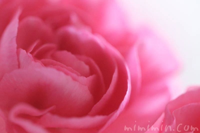 濃いピンク色のカーネーションの画像