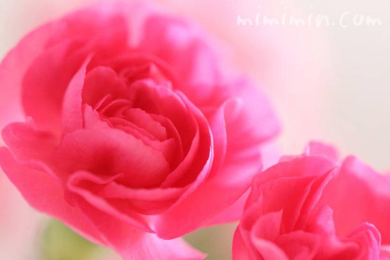 カーネーションの花・濃いピンクの写真