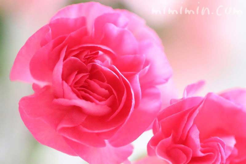 カーネーション・濃いピンクの画像