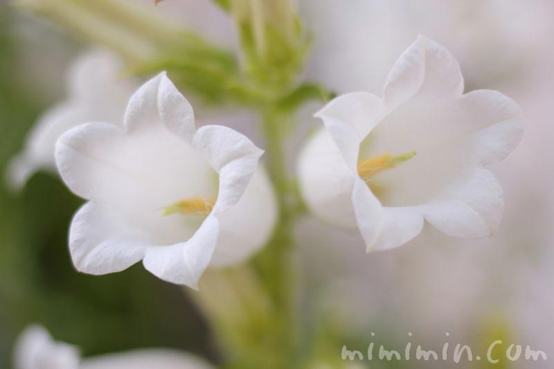 白いツリガネソウ・フウリンソウの写真