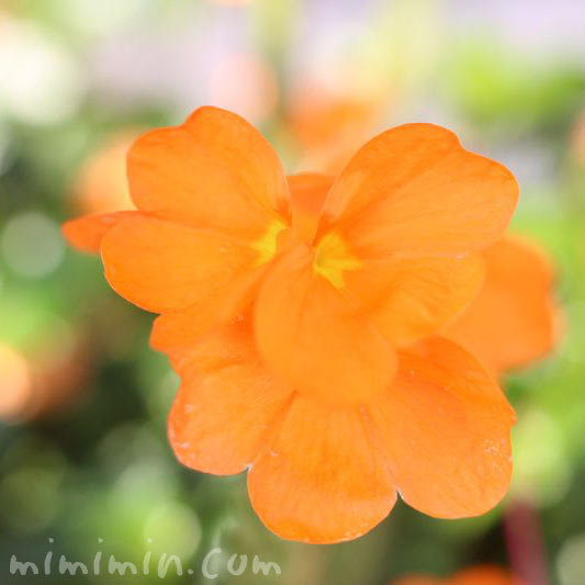 クロサンドラの花の写真