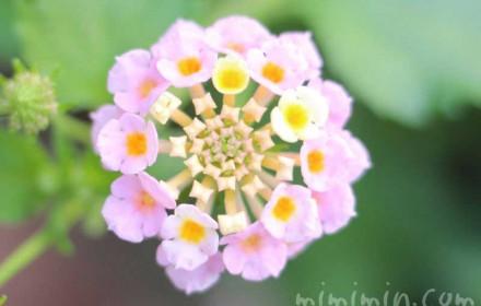 ランタナ・淡いピンクの画像