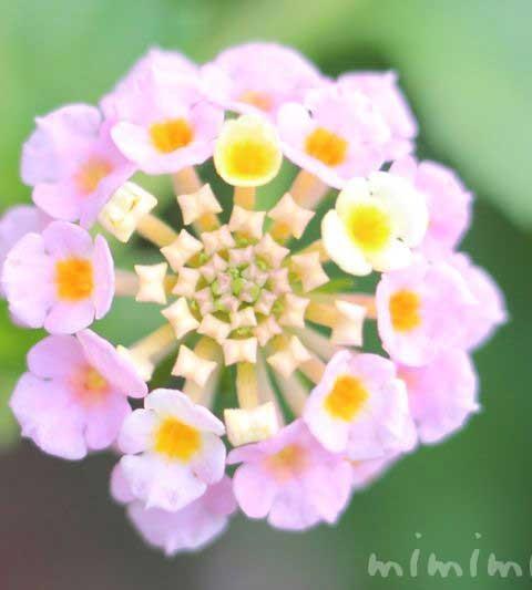 ランタナの花言葉・名前の由来 ランタナの花の写真