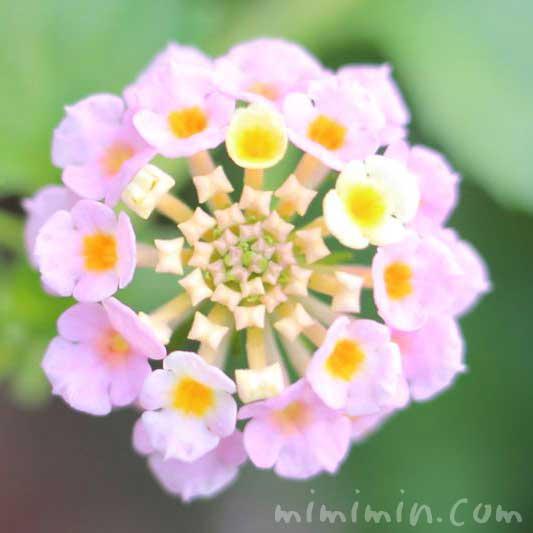 ランタナの花・淡いピンクの写真