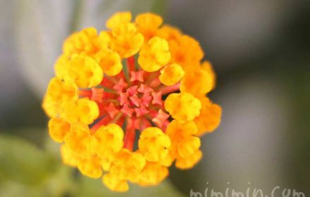 ランタナ 黄色の画像