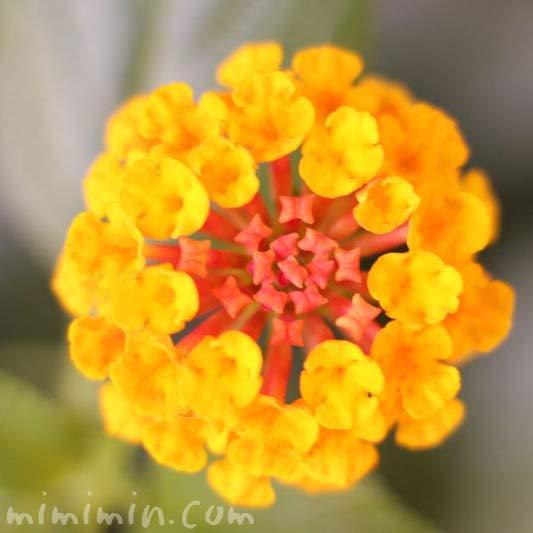 ランタナの花・黄色の写真