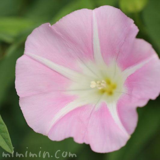 薄いピンク色の昼顔の画像