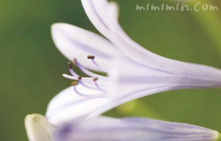 アガパンサスの花(ブルーのストライプ)の写真