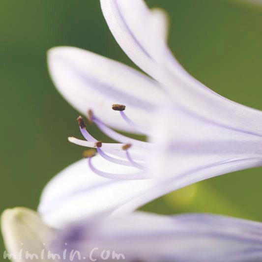 ガパンサスの花(ブルー)