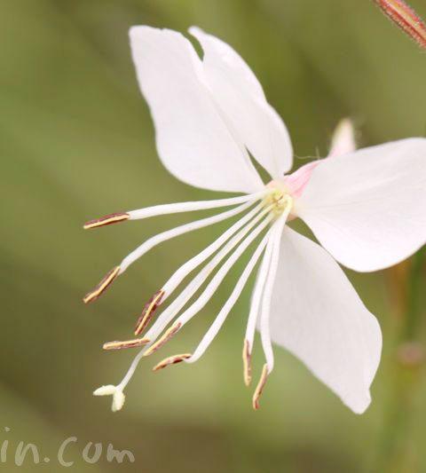 白蝶草(ハクチョウソウ・ガウラ)の花言葉・誕生花