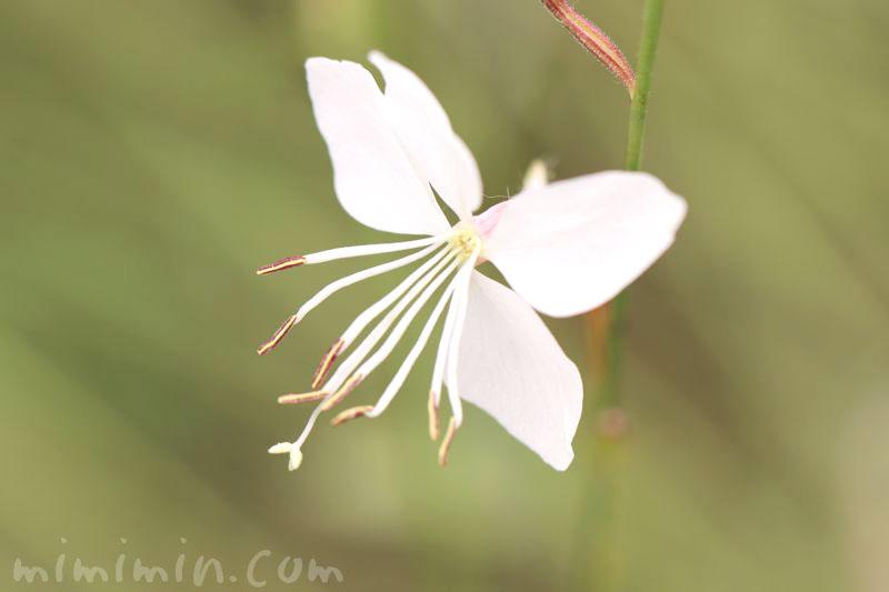 白蝶草の花