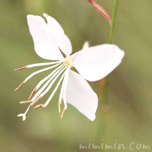 ハクチョウソウの花
