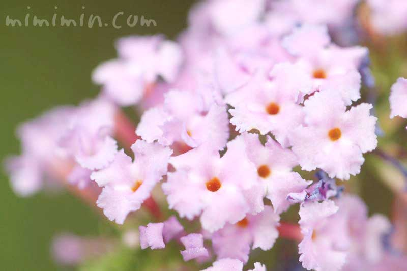 ブッドレアの花・ピンク