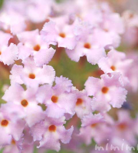 ブッドレアの花言葉・名前の由来・花の写真