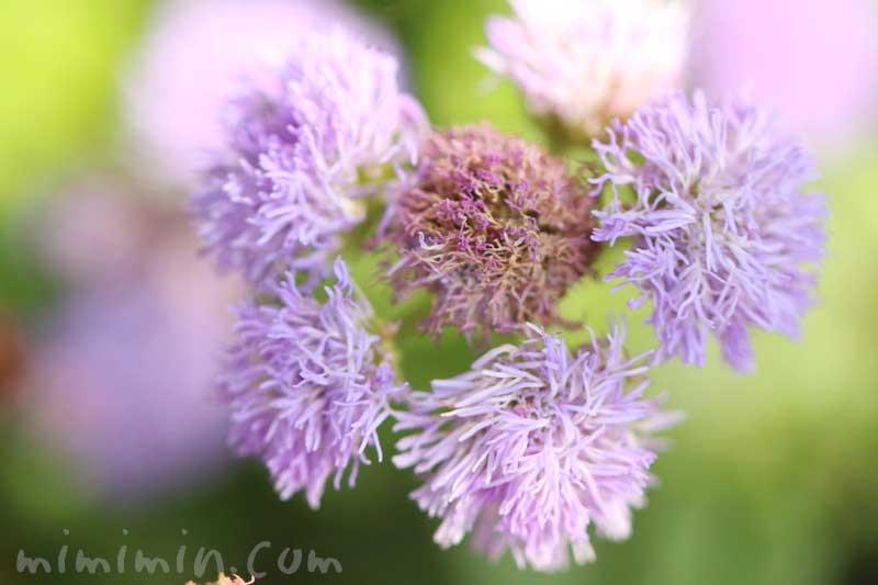 アゲラタムの写真 花言葉の画像