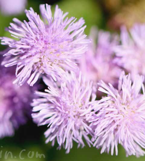 アゲラタム(オオカッコウアザミ)の花言葉・誕生花