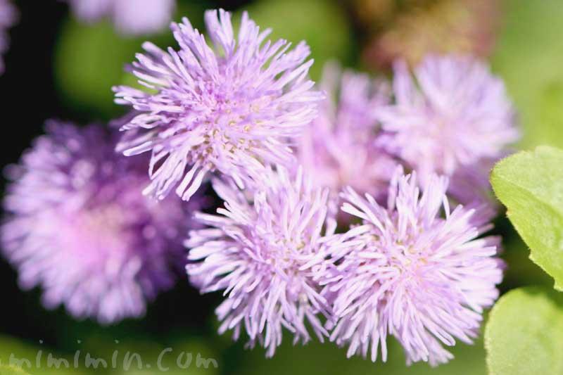 アゲラタムの写真と花言葉