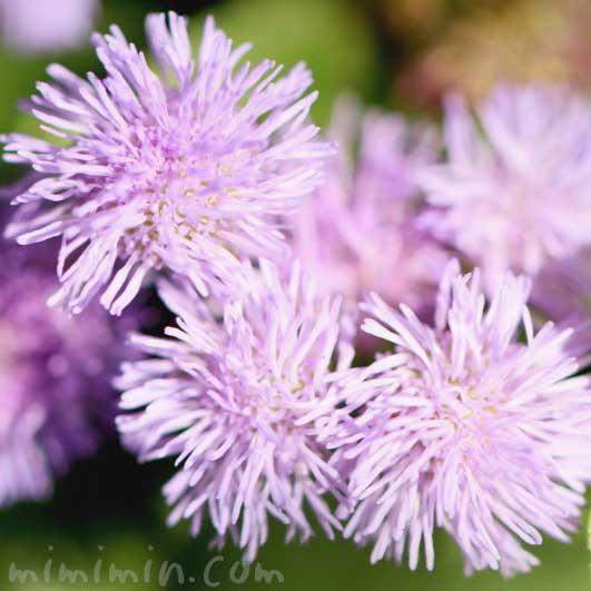 アゲラタムの花の写真 花言葉の画像