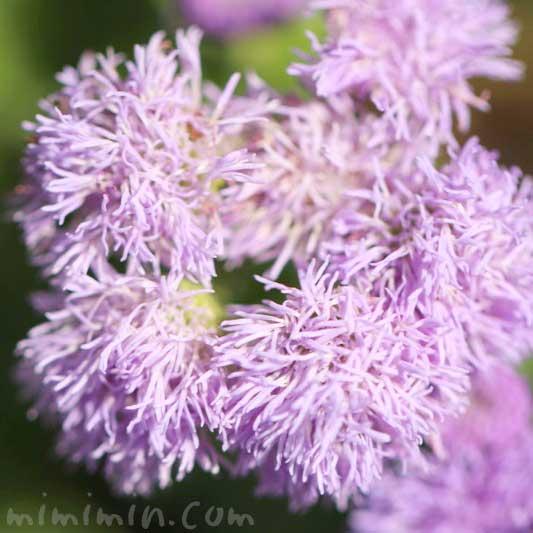 アゲラタムの花の写真と花言葉
